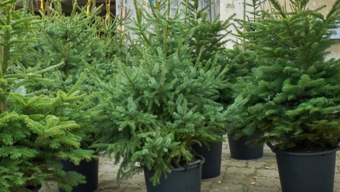 Weihnachtsbaumverkauf Preisliste